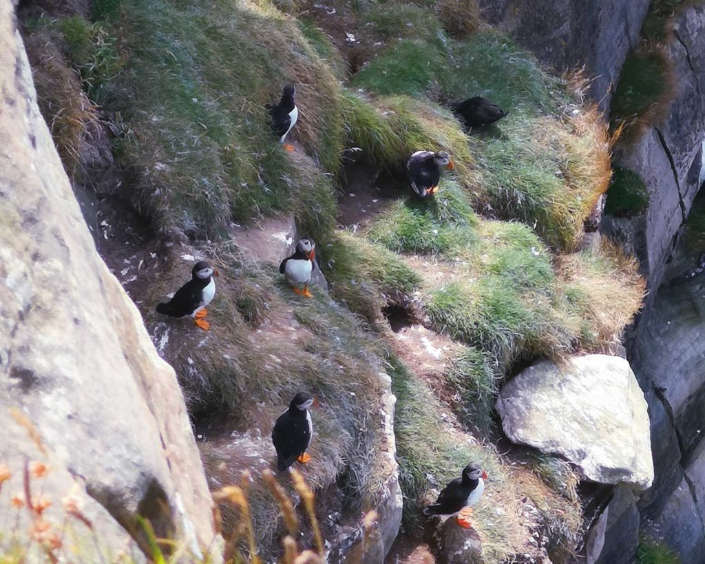 Puffins, Dunnet Head, North Coast 500