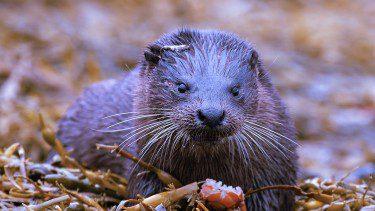 Otter on Mull