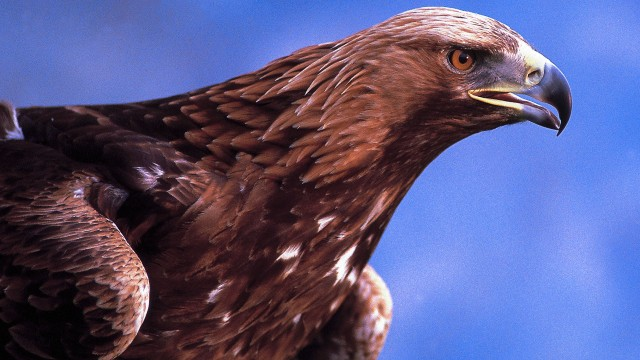 Majestic eagle on Mull