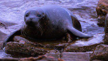Seal spot in Kintyre