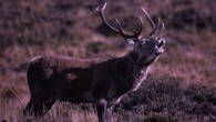 Roaring red deer stag