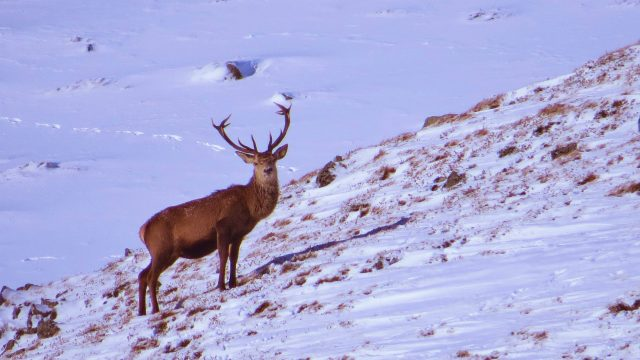 Stag in the snow, Scotland