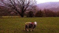 Borrowdale sheep, The Lake District