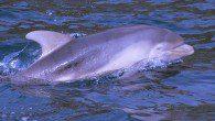 Dolphin off coast of Mull