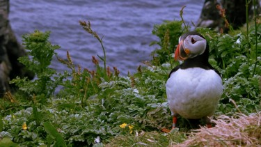 Puffin on the Isle of Mull