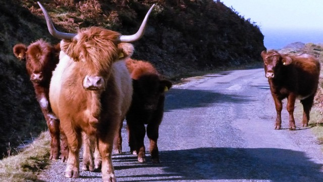 Highland coos on Mull