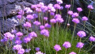 Vibrant flowers on the Cairns of Coll