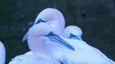 Gannets on Shetland