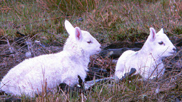 Sutherland lambs