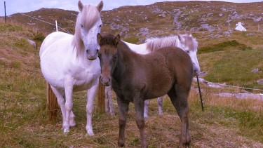 See the famous Eriskay ponies