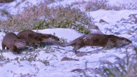 Otters on North Uist