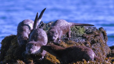 Playful otters in the Outer Hebrides