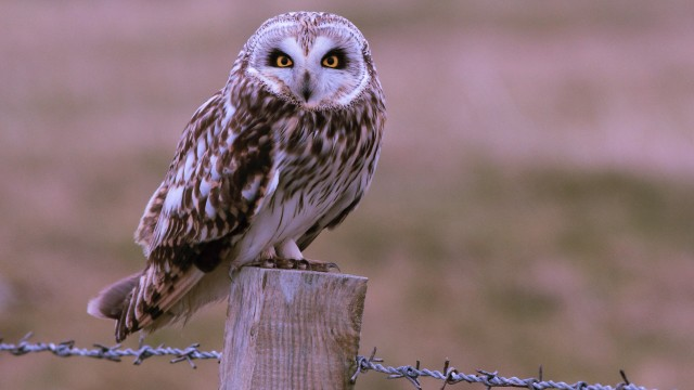 Short Eared Owl on the Western Isles