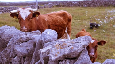 Aran islands cattle