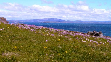Sea pinks on Cork's coastline