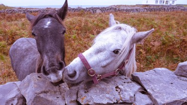 Galway horses