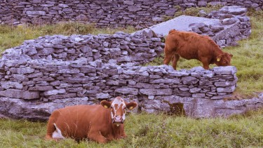Cattle on The Burren