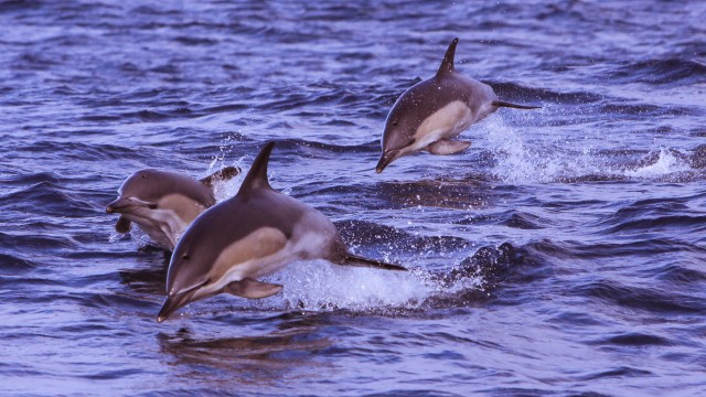West Cork dolphins