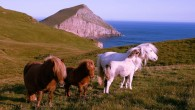 Shetland ponies on the Isle of Foula