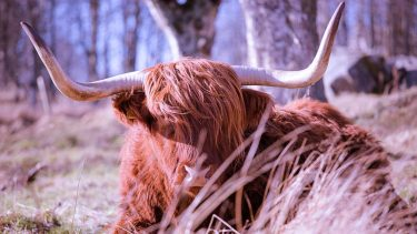 Traditional Highland coo