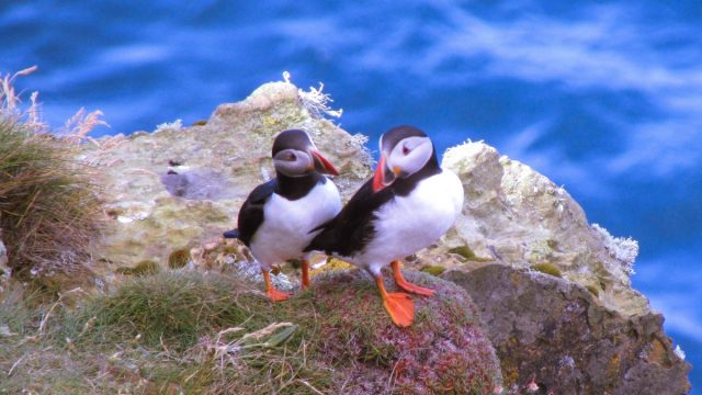 Puffins of Caithness - NC 500