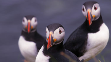 Puffins, Isle of Staffa